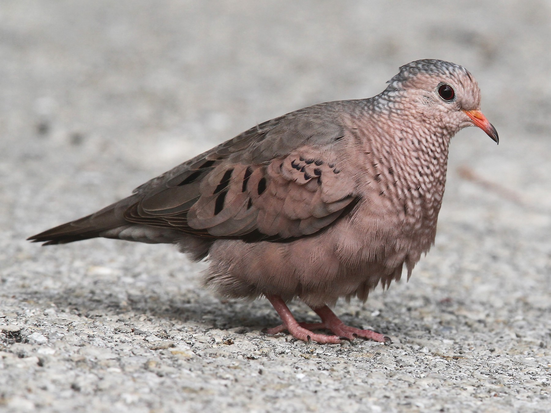 Common Ground Dove - Volker Hesse