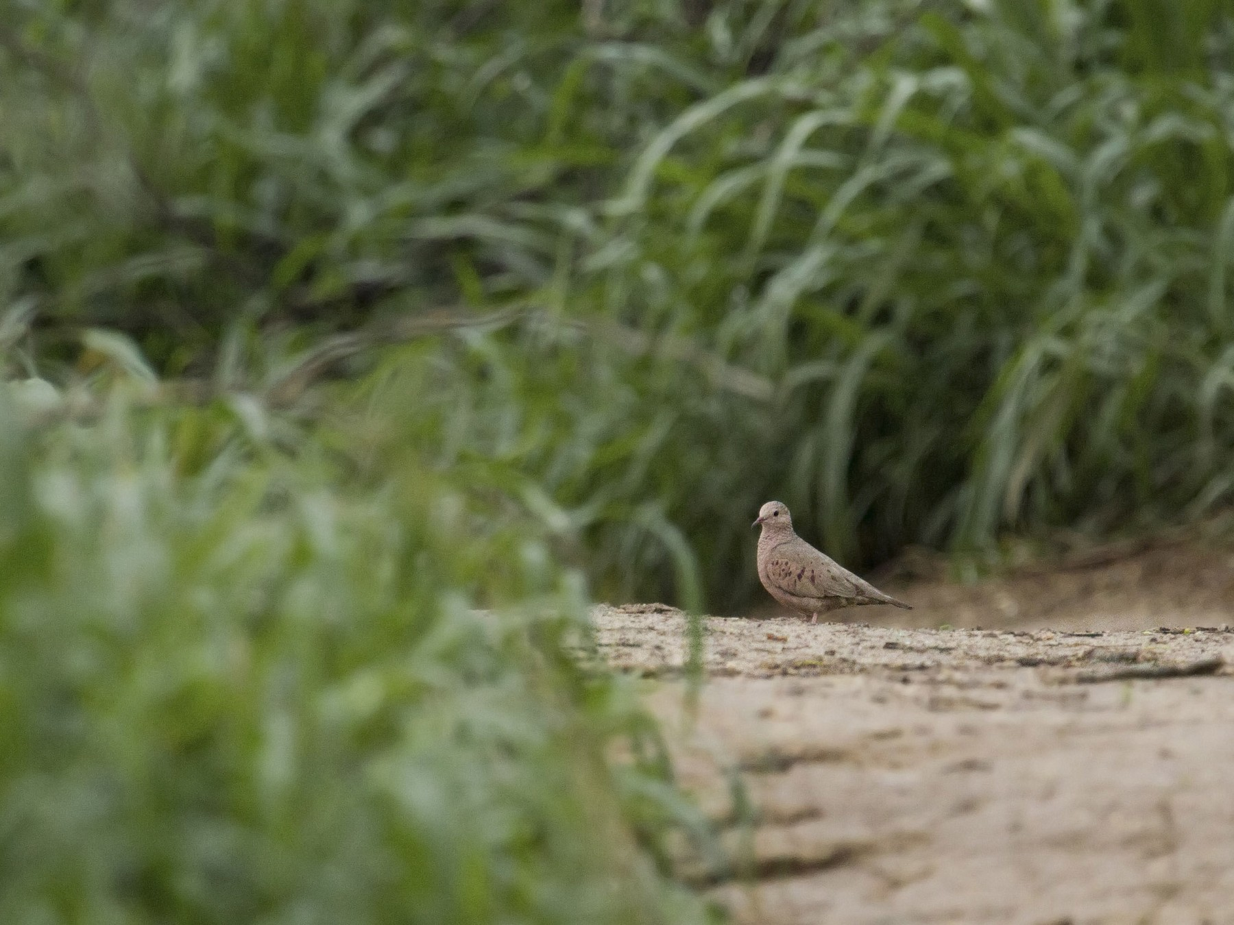 Common Ground Dove - Liam Wolff