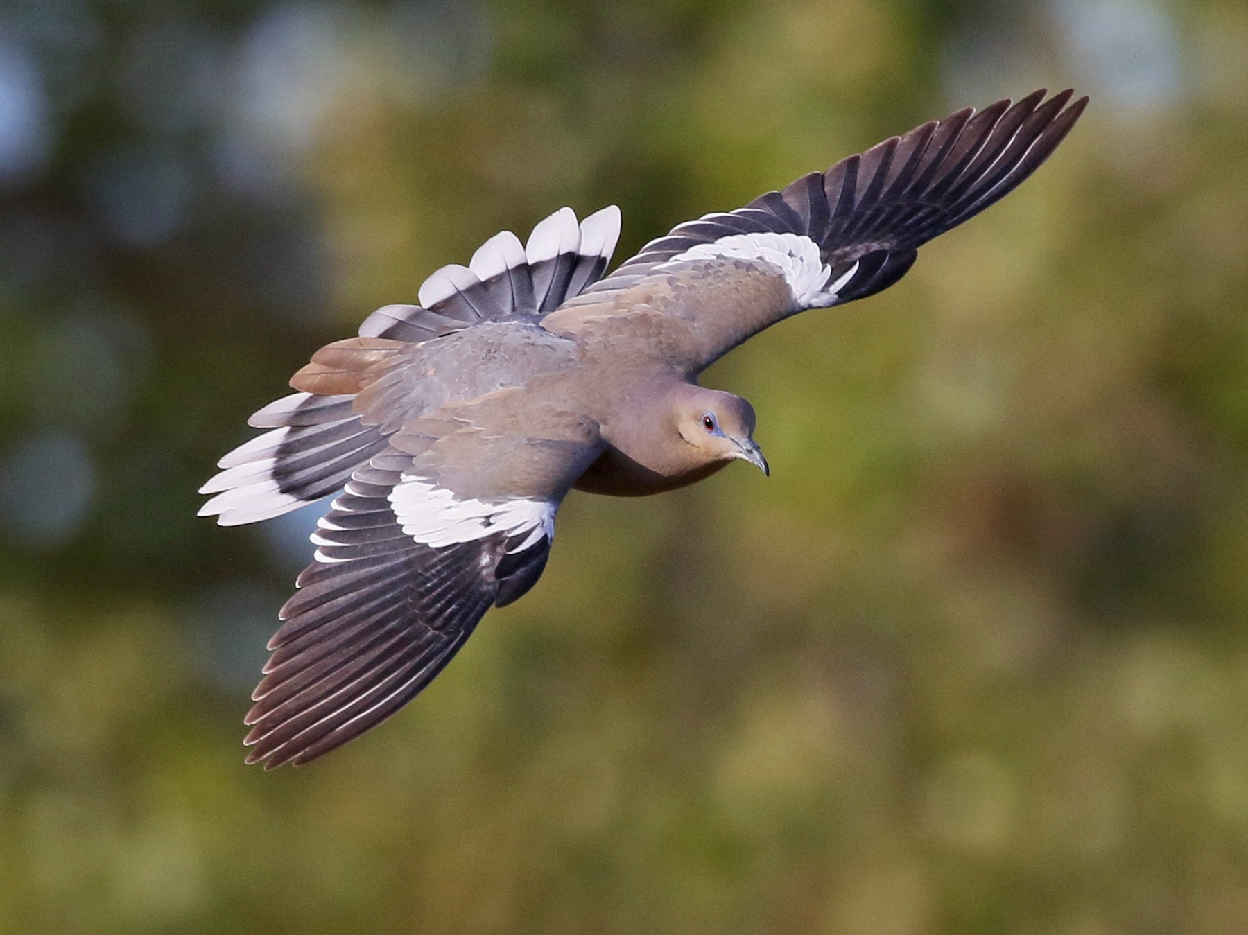 White-winged Dove - Charlotte Byers