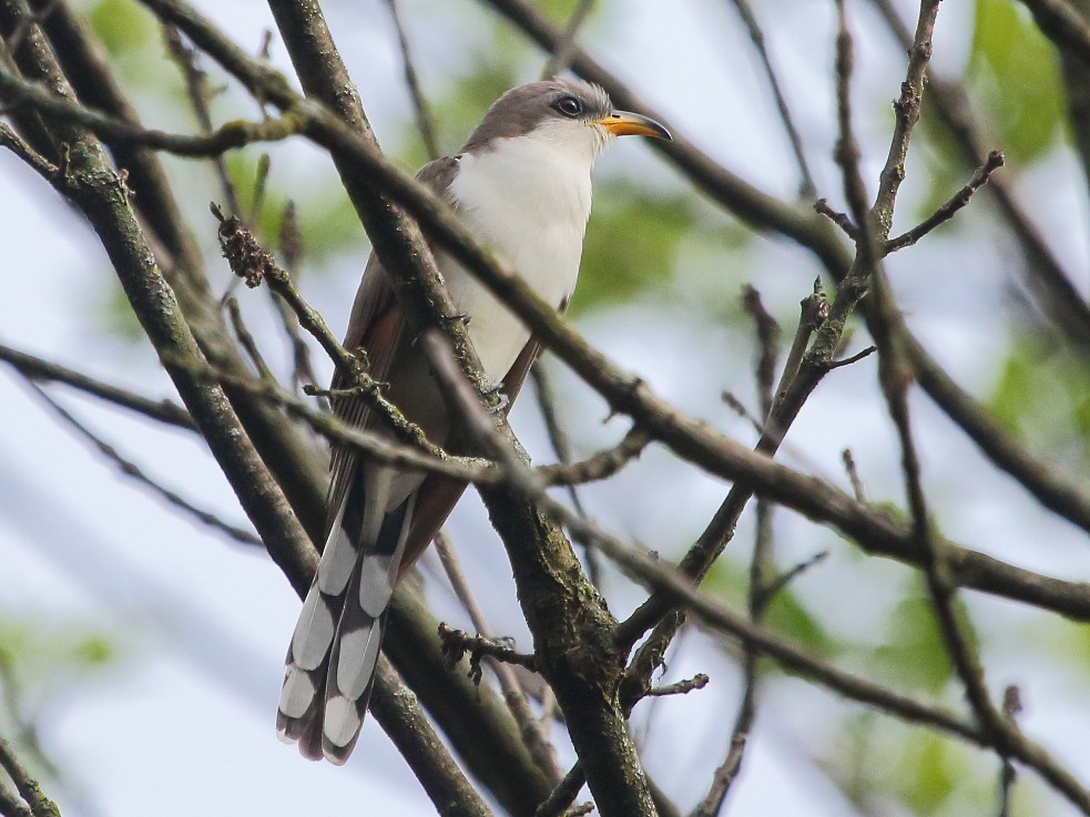 Yellow-billed Cuckoo - Jeff Bryant