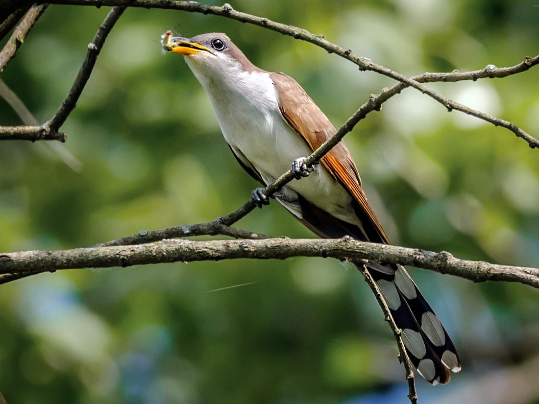 Yellow-billed Cuckoo - mark kraus