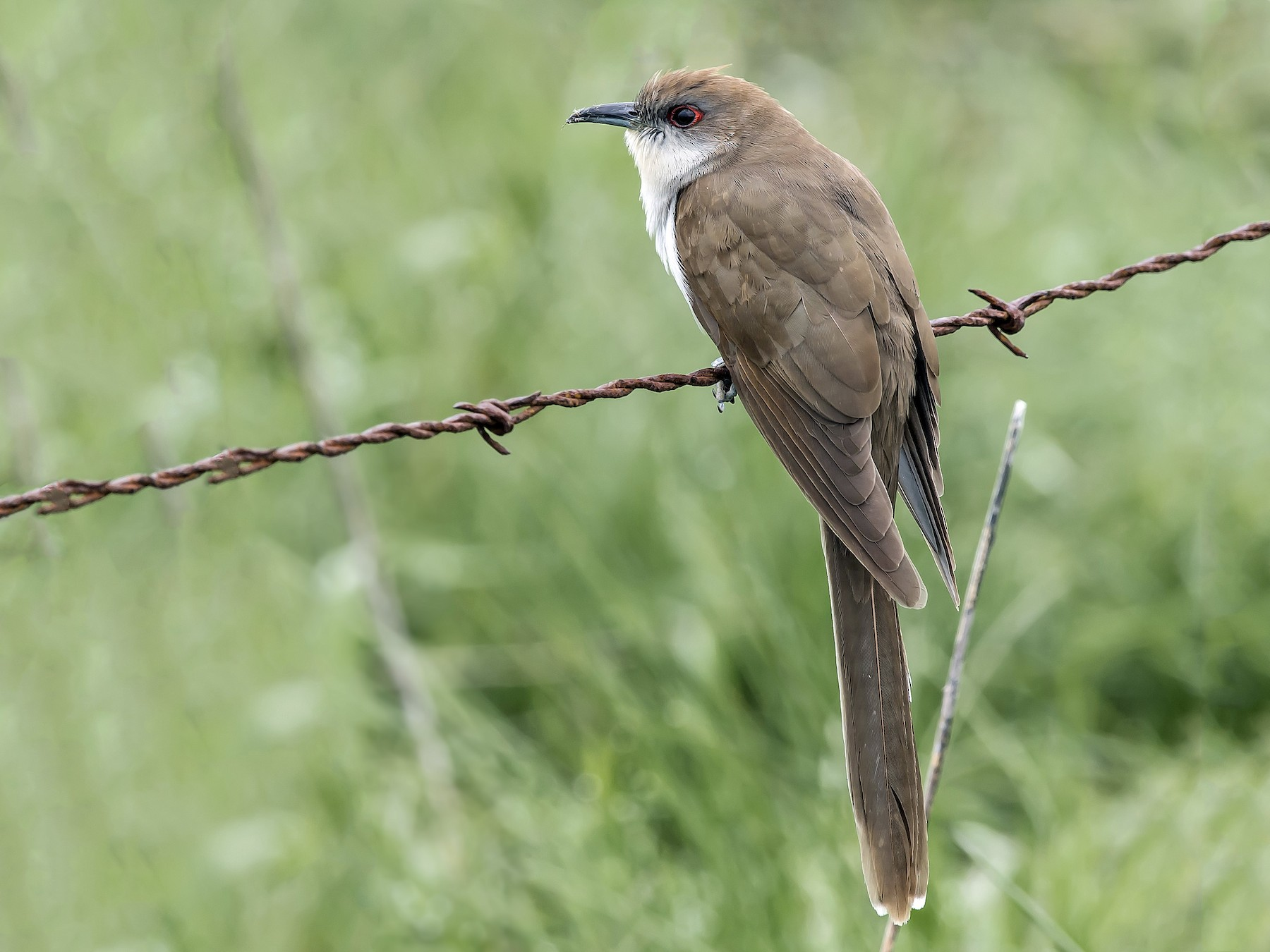 Black-billed Cuckoo - Ronnie d'Entremont