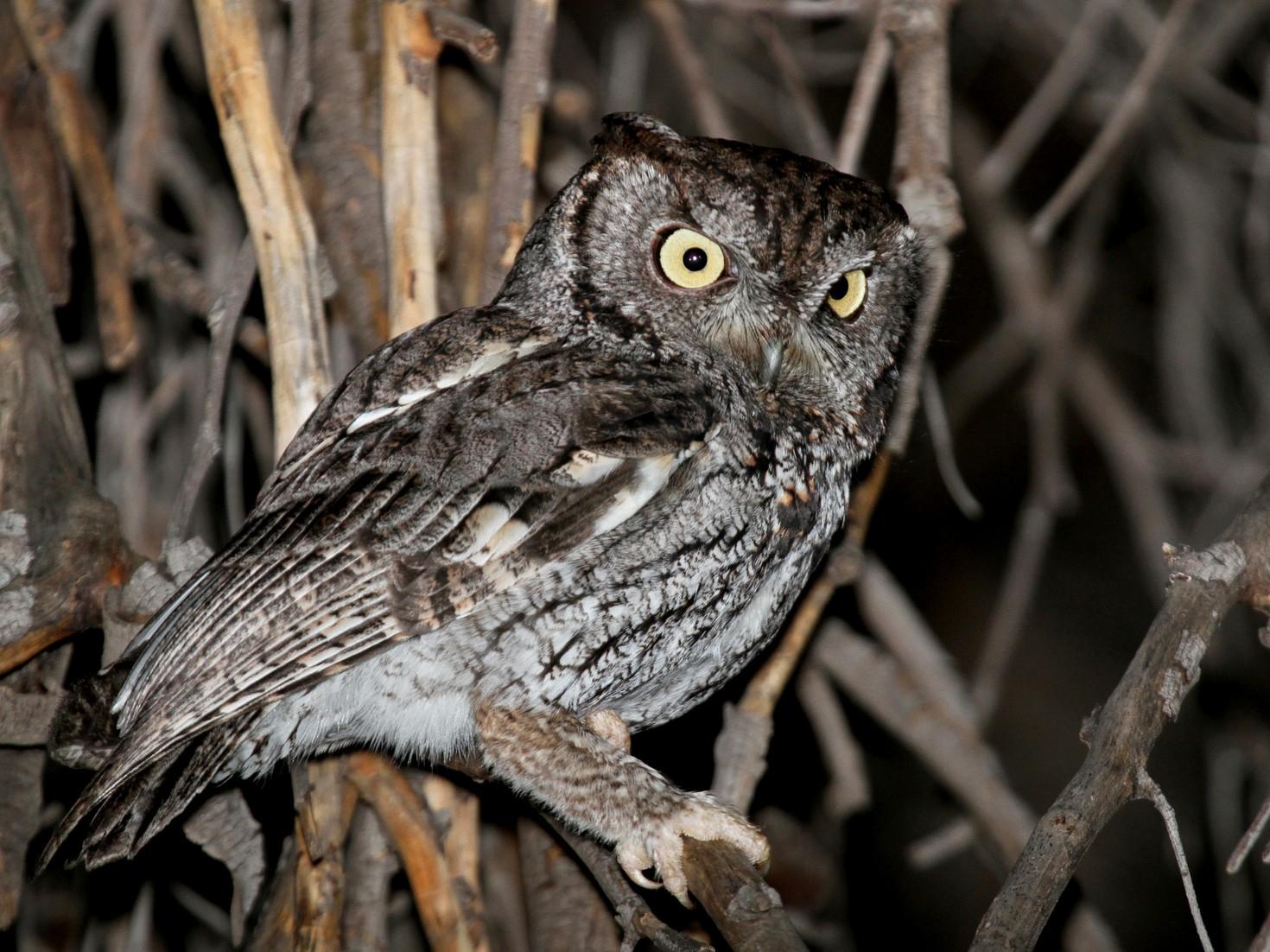 Western Screech-Owl - Matthew Grube