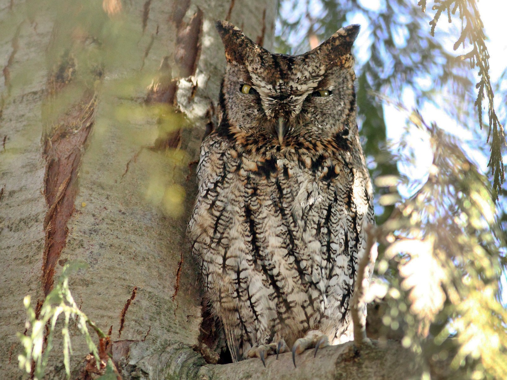 Western Screech-Owl - Logan Lalonde