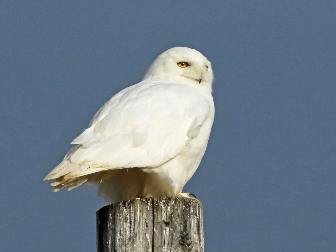 Snowy Owl - Nigel Voaden