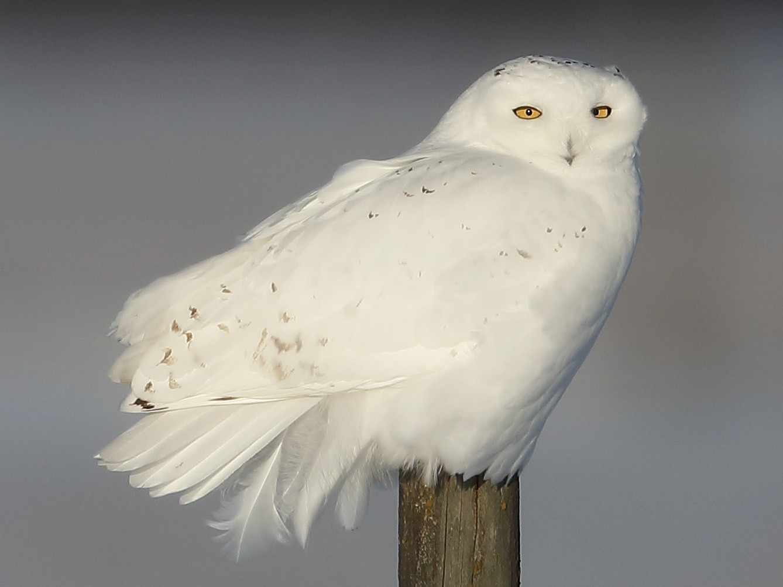 Snowy Owl - Mark  Benavides