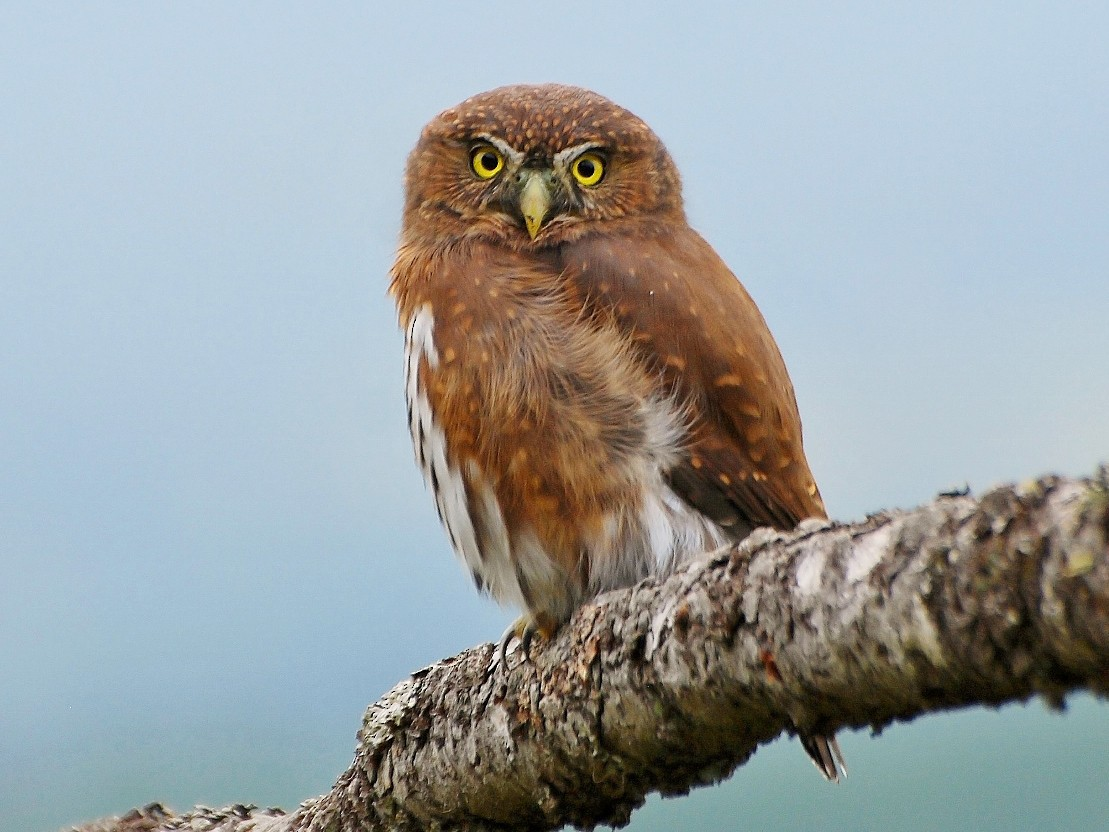 Northern Pygmy-Owl - Guy L. Monty