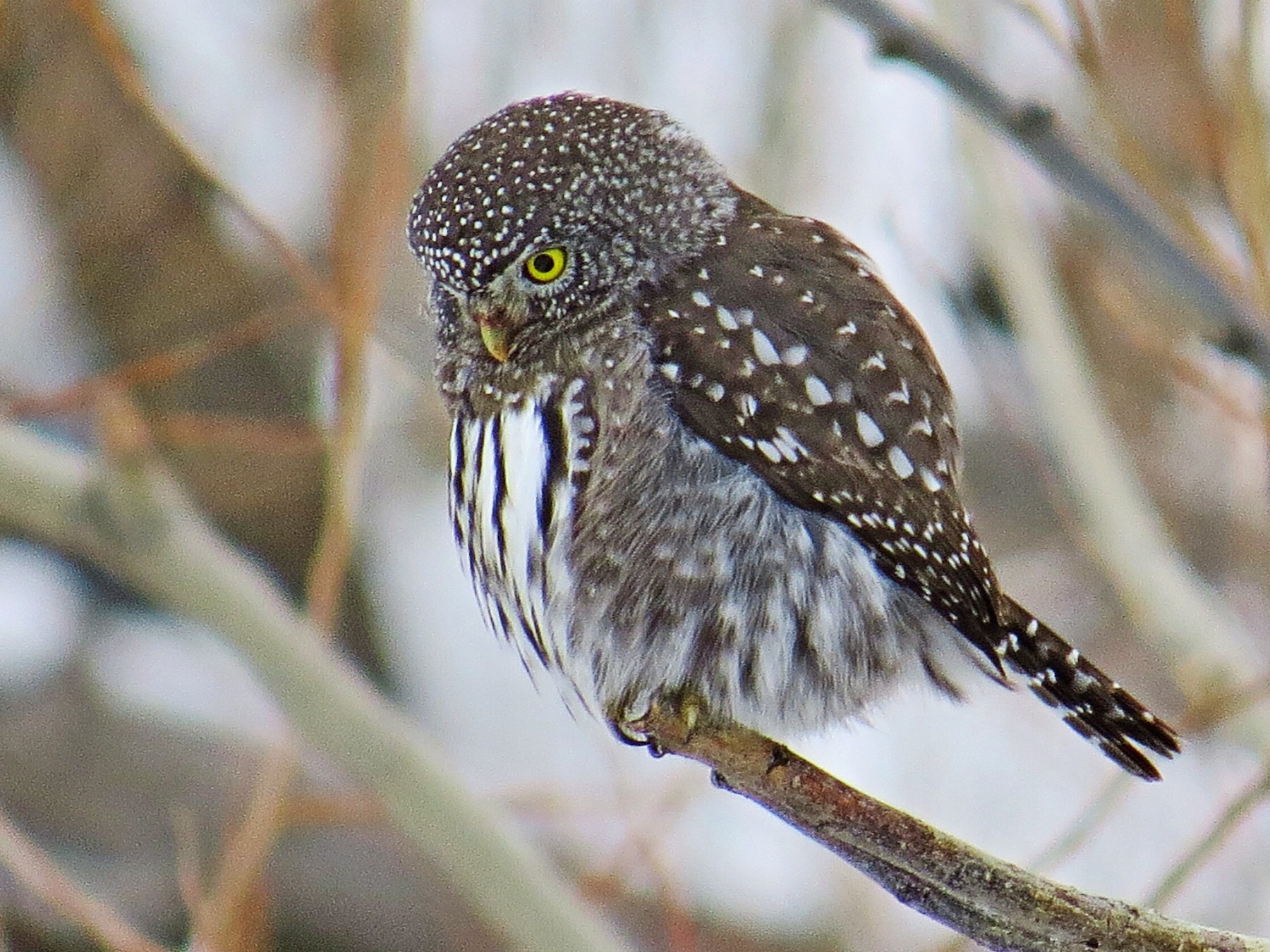 Northern Pygmy-Owl - Mike Hearell