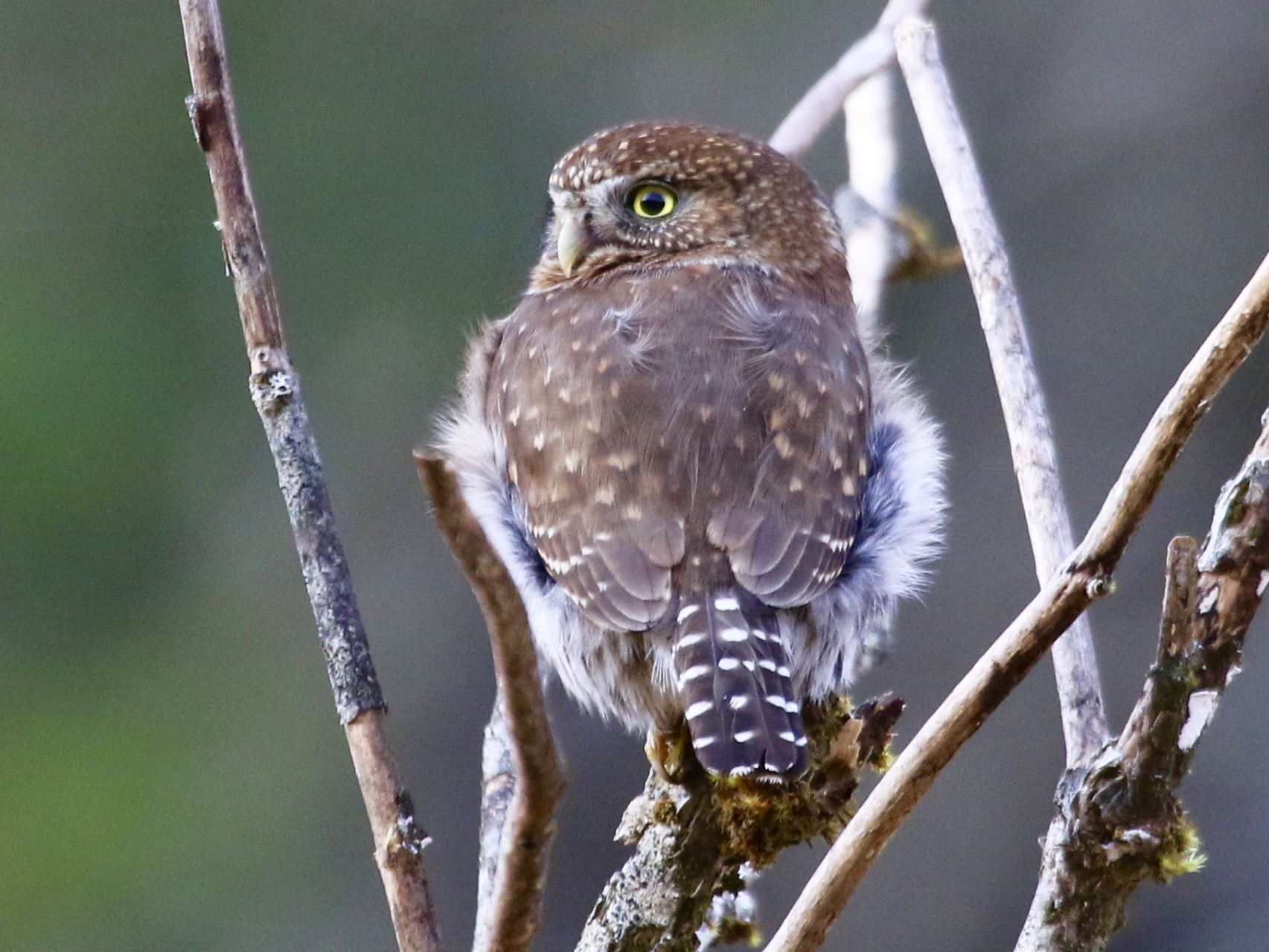 Northern Pygmy-Owl - Eric Heisey