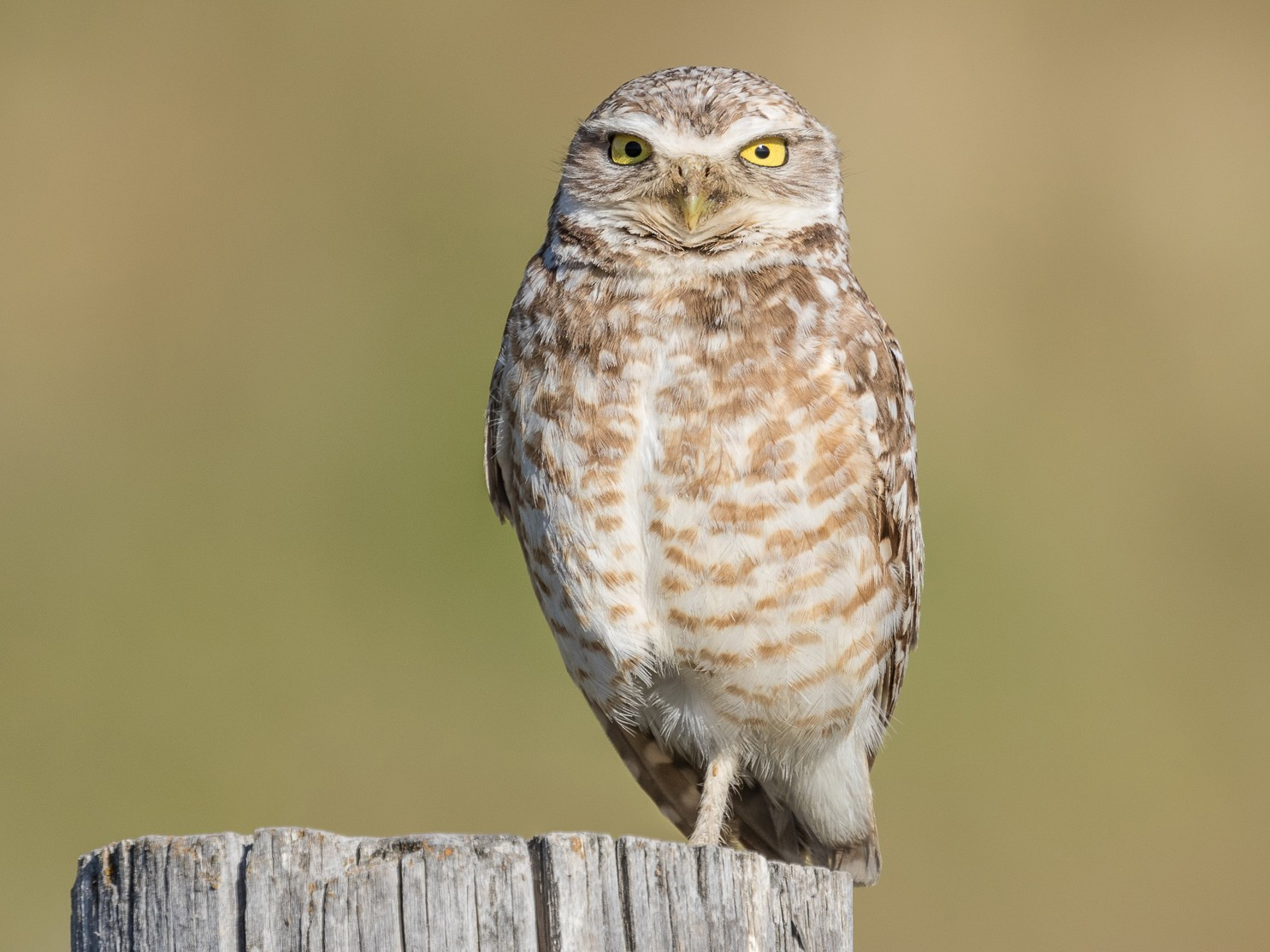 Burrowing Owl - Ken Chamberlain