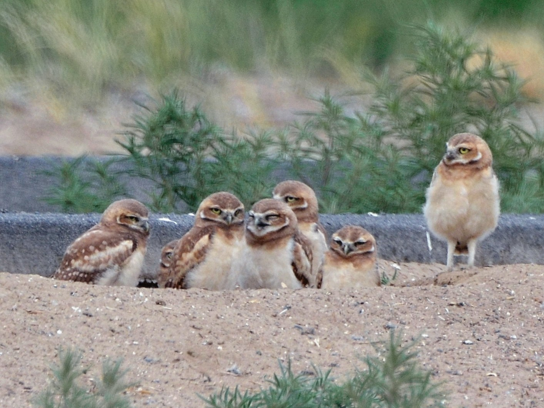 Burrowing Owl - Carol Riddell