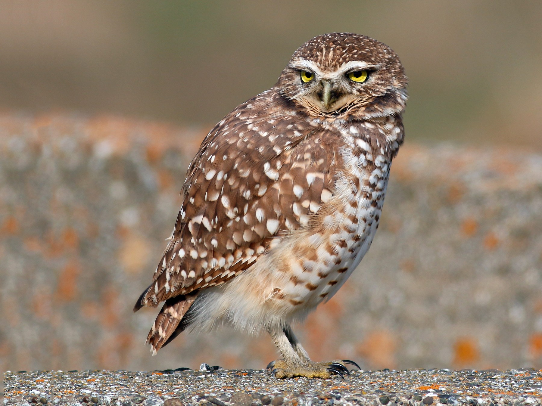 Burrowing Owl - Kirk Swenson