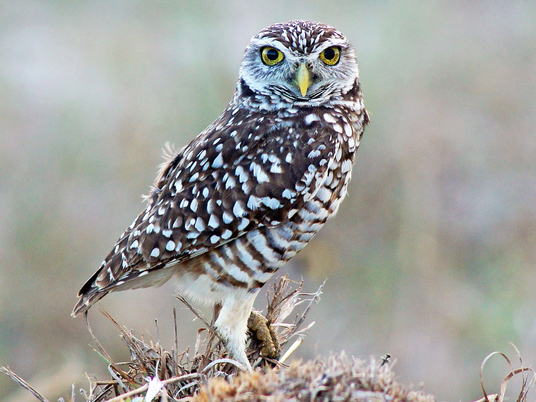 Burrowing Owl - Michael Smith