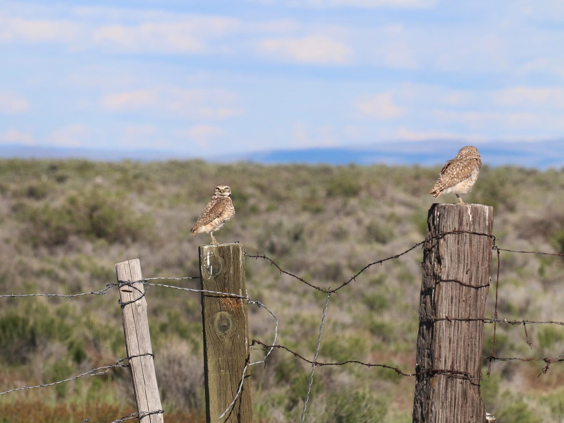 Burrowing Owl - Henry Burton