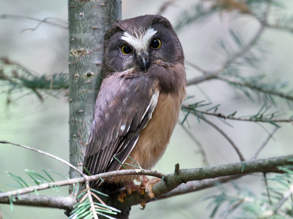 Northern Saw-whet Owl - Dick Dionne