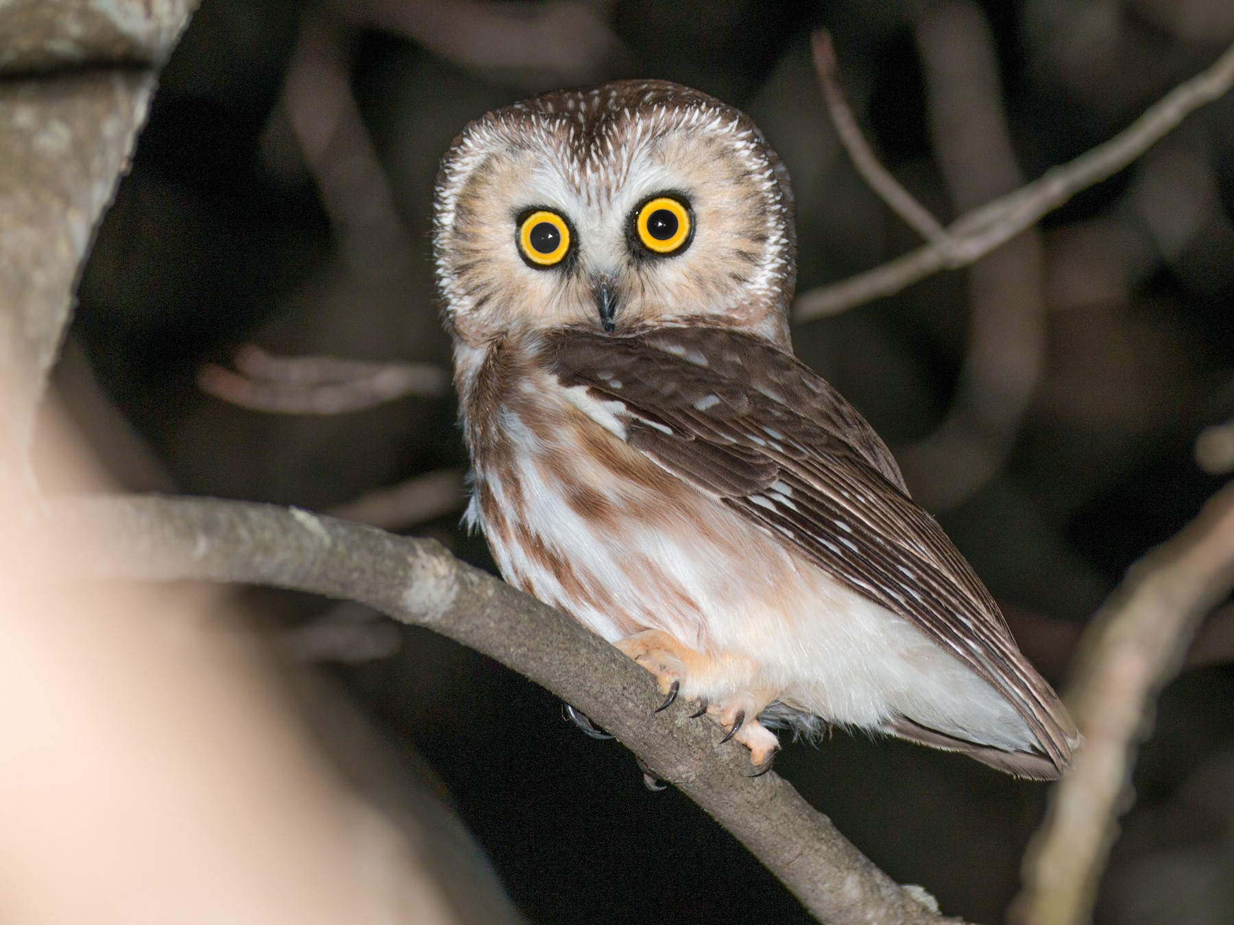 Northern Saw-whet Owl - Gates Dupont