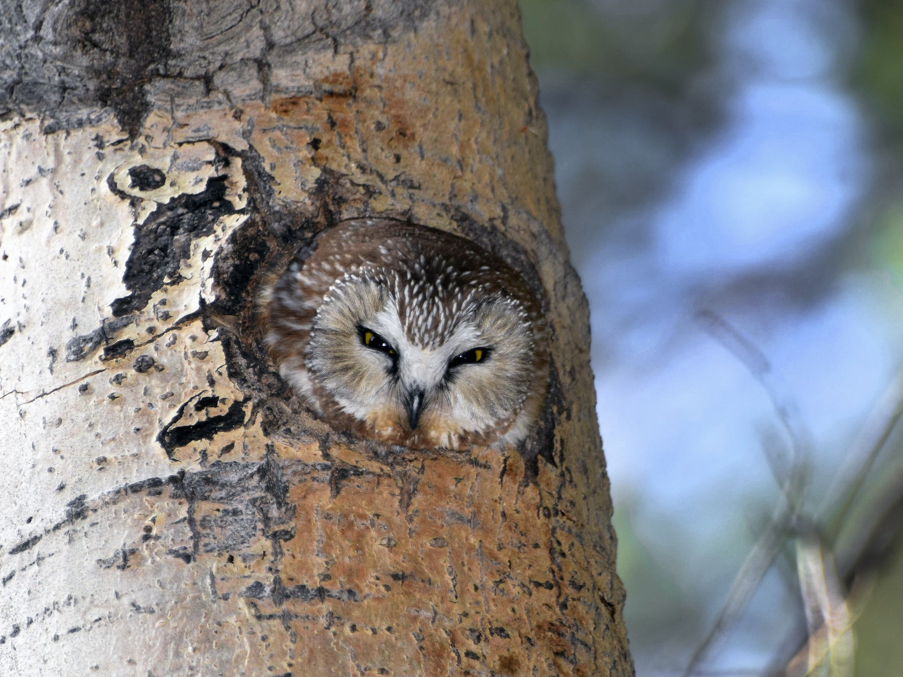 Northern Saw-whet Owl - David Tønnessen