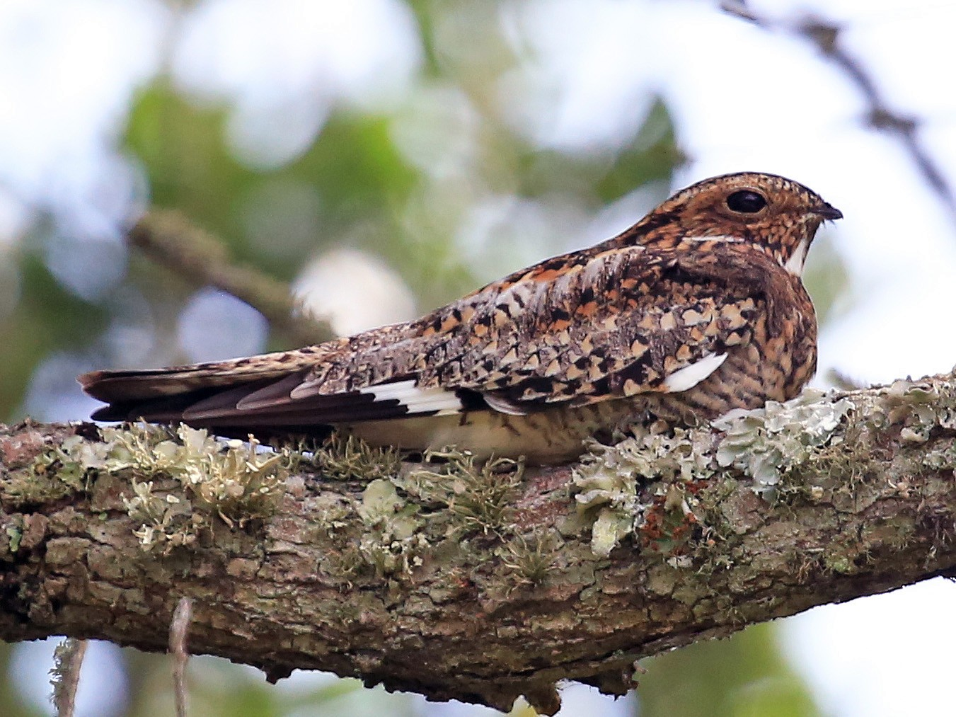 Common Nighthawk - Tim Lenz
