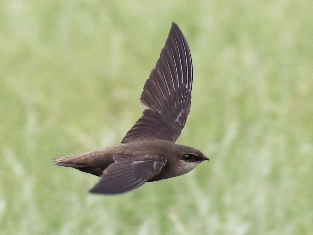 Chimney Swift - Steve Calver