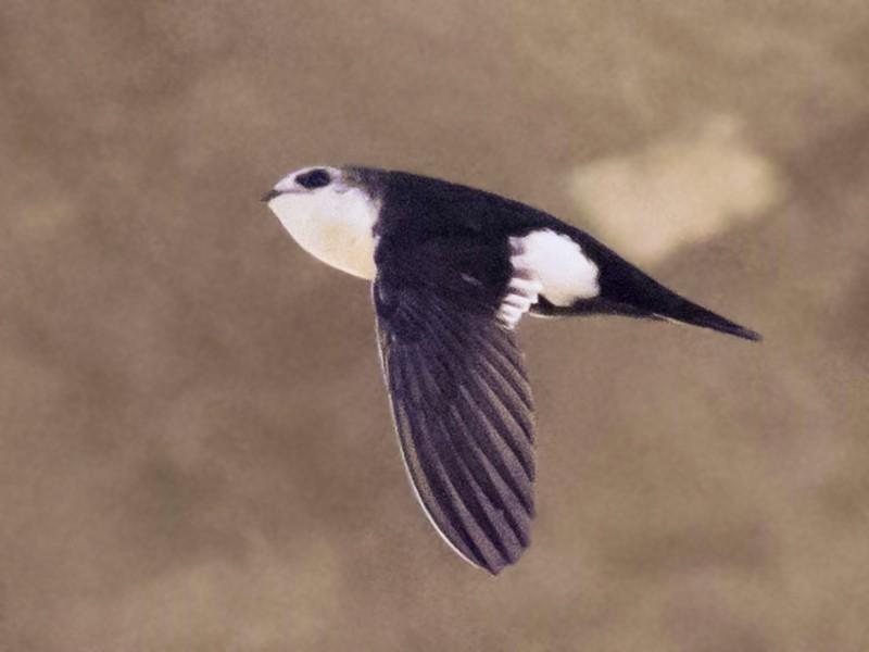 White-throated Swift - Mel Senac