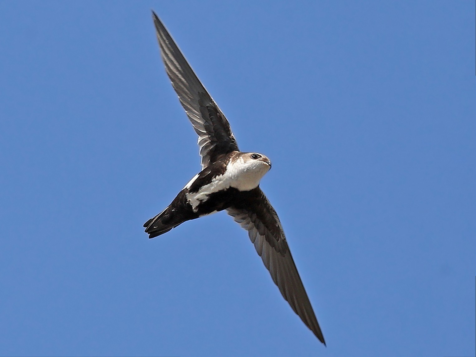 White-throated Swift - Matt Davis