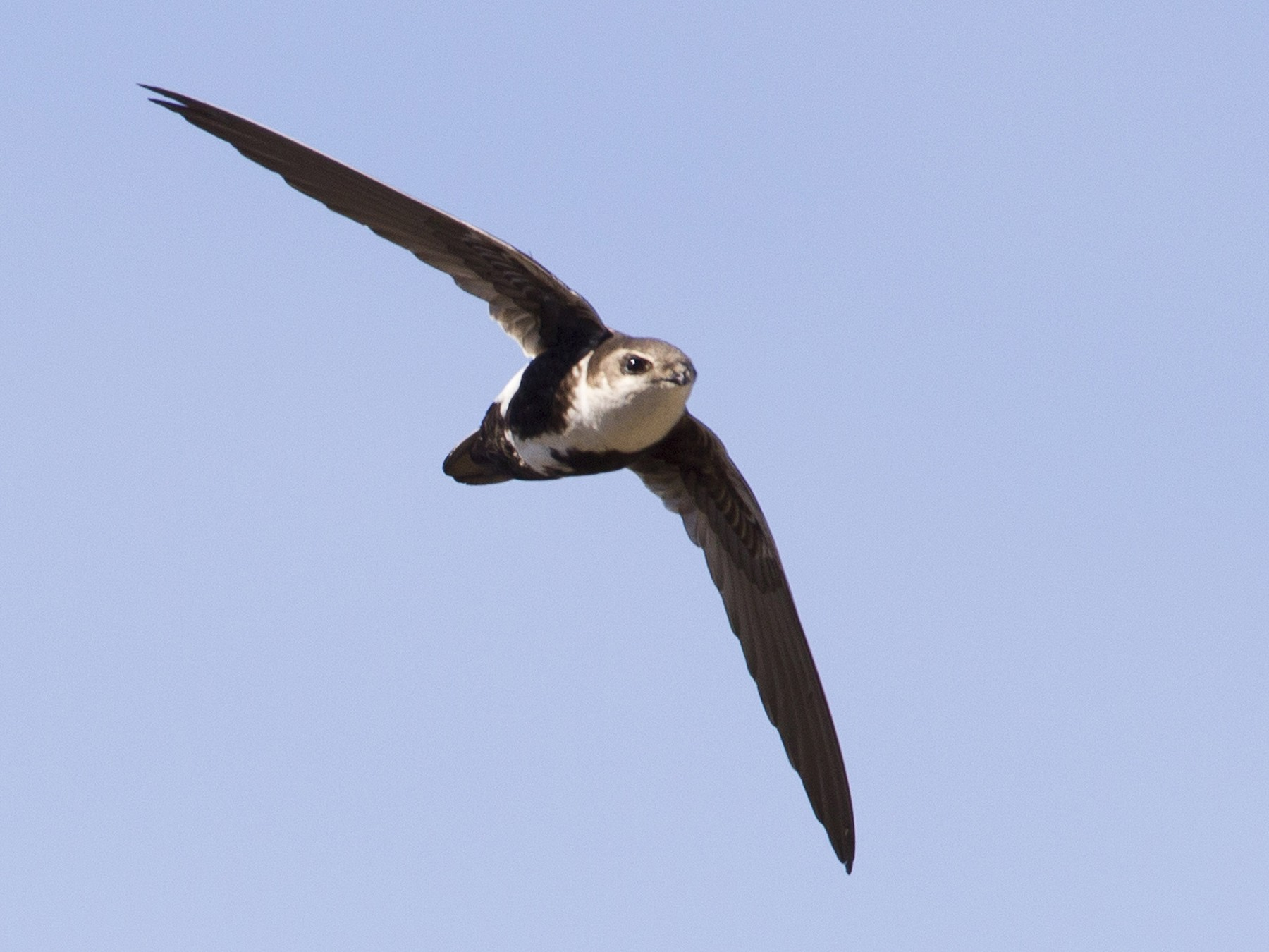 White-throated Swift - Brian Sullivan