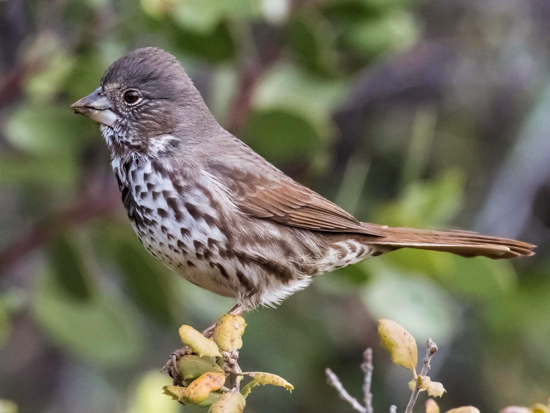 Fox Sparrow - Scott McCusker
