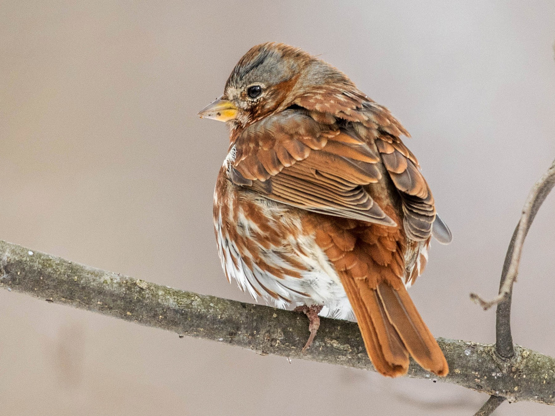 Fox Sparrow - George Valladares