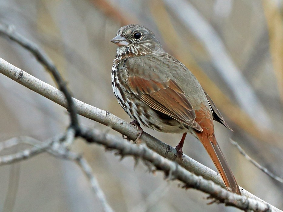 Fox Sparrow - Nigel Voaden