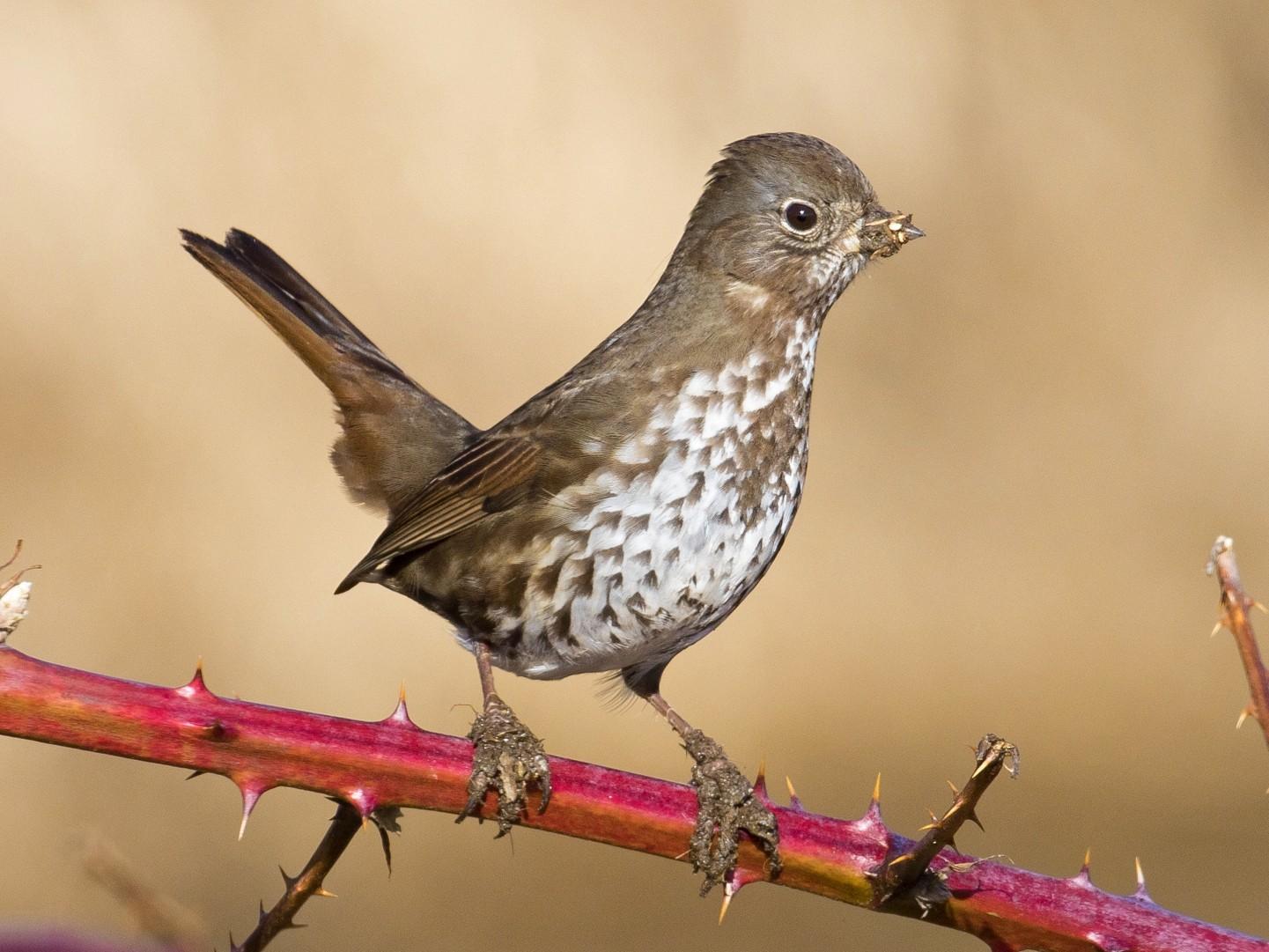 Fox Sparrow - John Reynolds