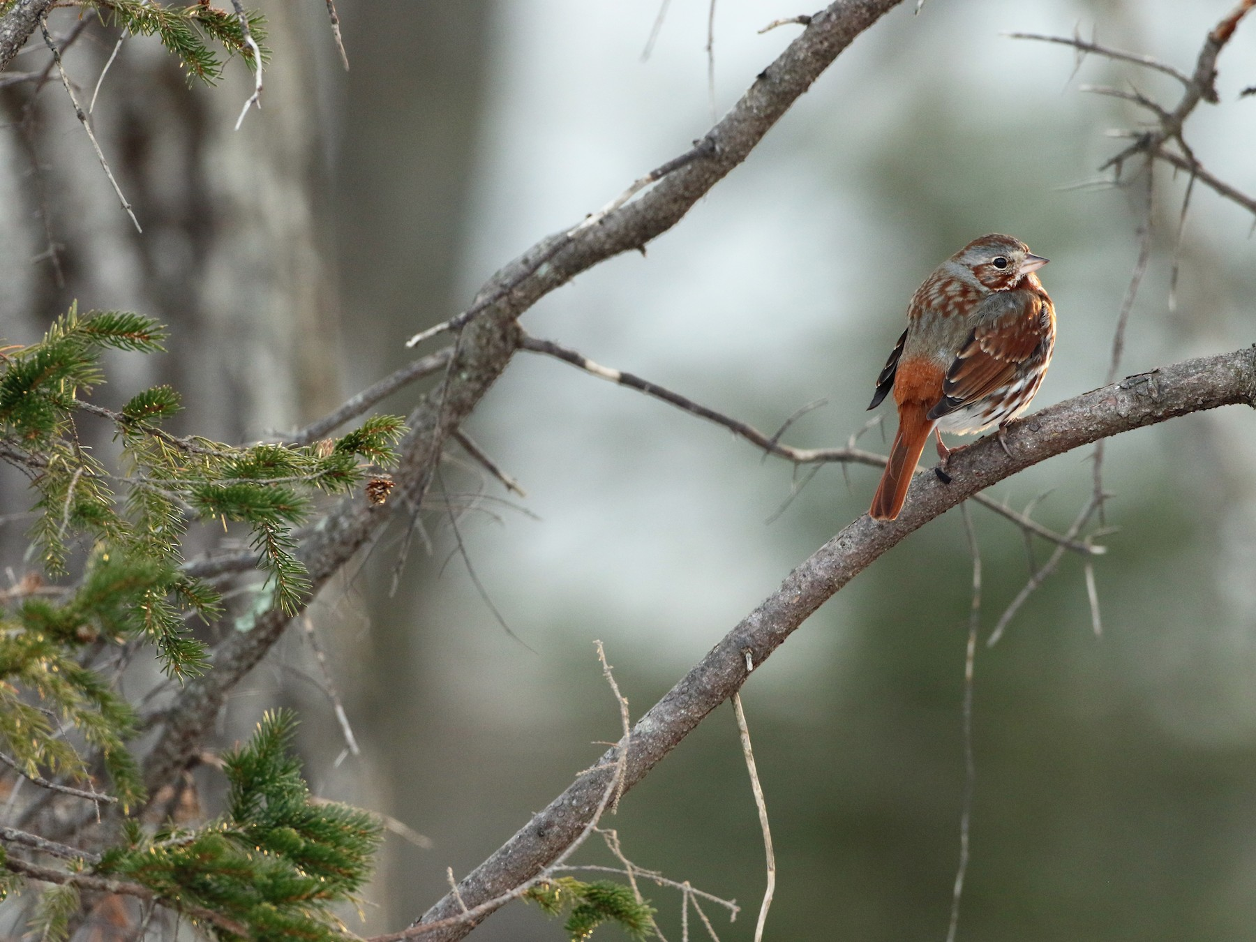 Fox Sparrow - Luke Seitz