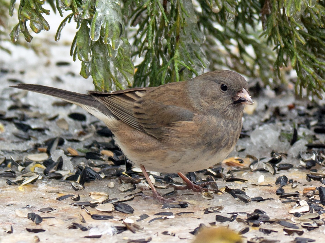 Dark-eyed Junco - Shirley Foreman