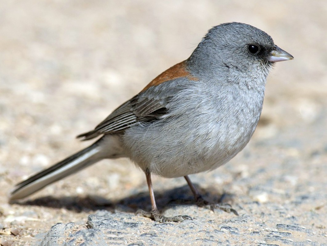 Dark-eyed Junco - Amanda Guercio