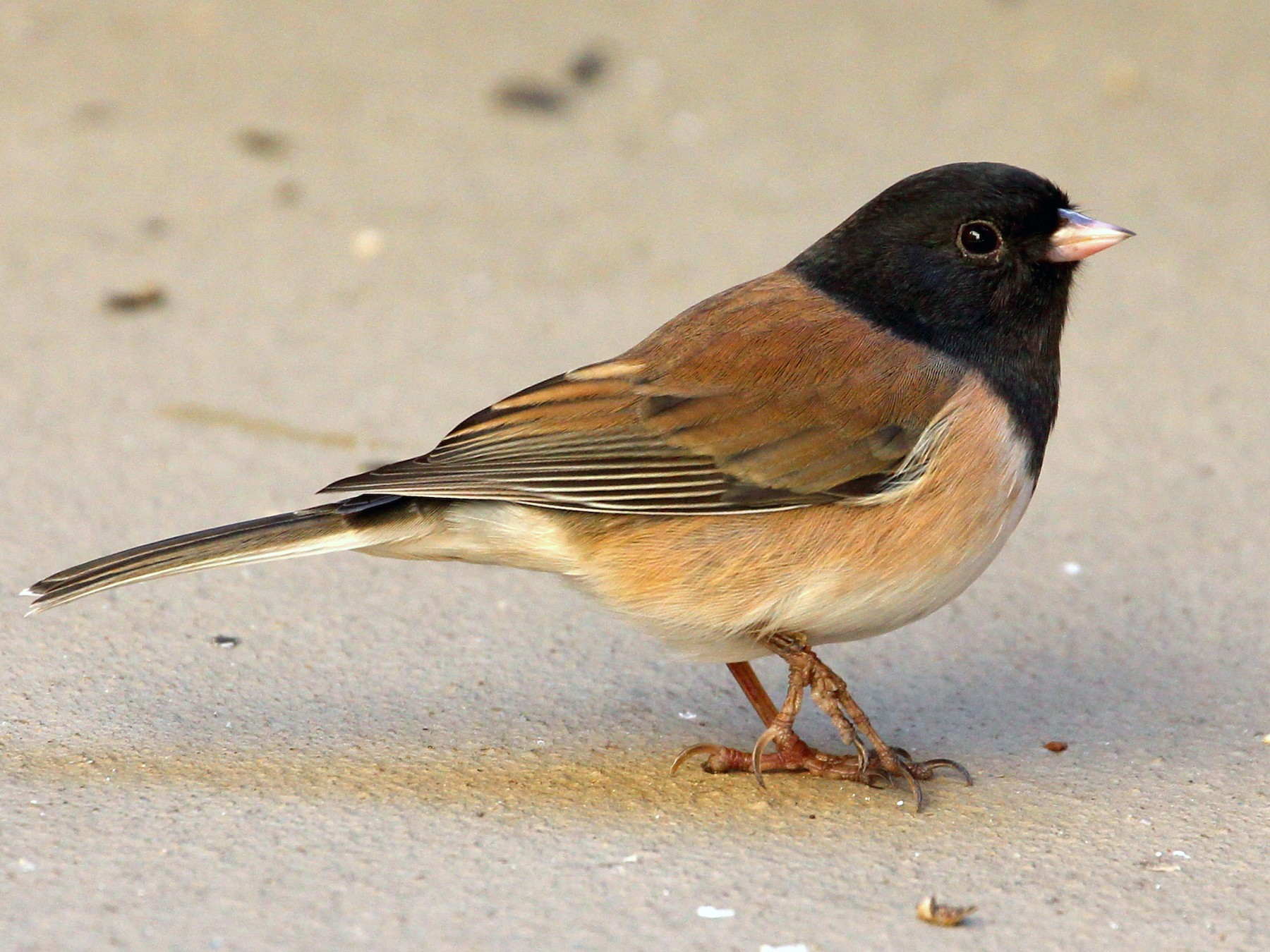 Dark-eyed Junco - sam hough