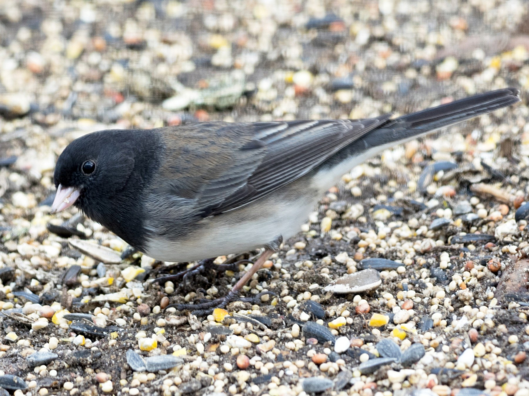 Dark-eyed Junco - Brad Heath
