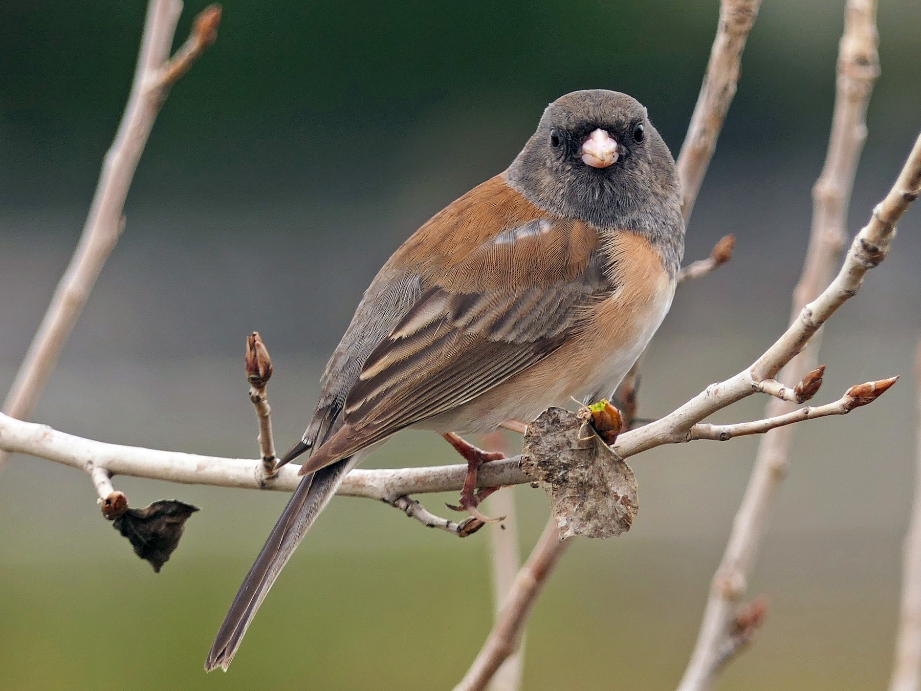 Dark-eyed Junco - Robert Hamilton