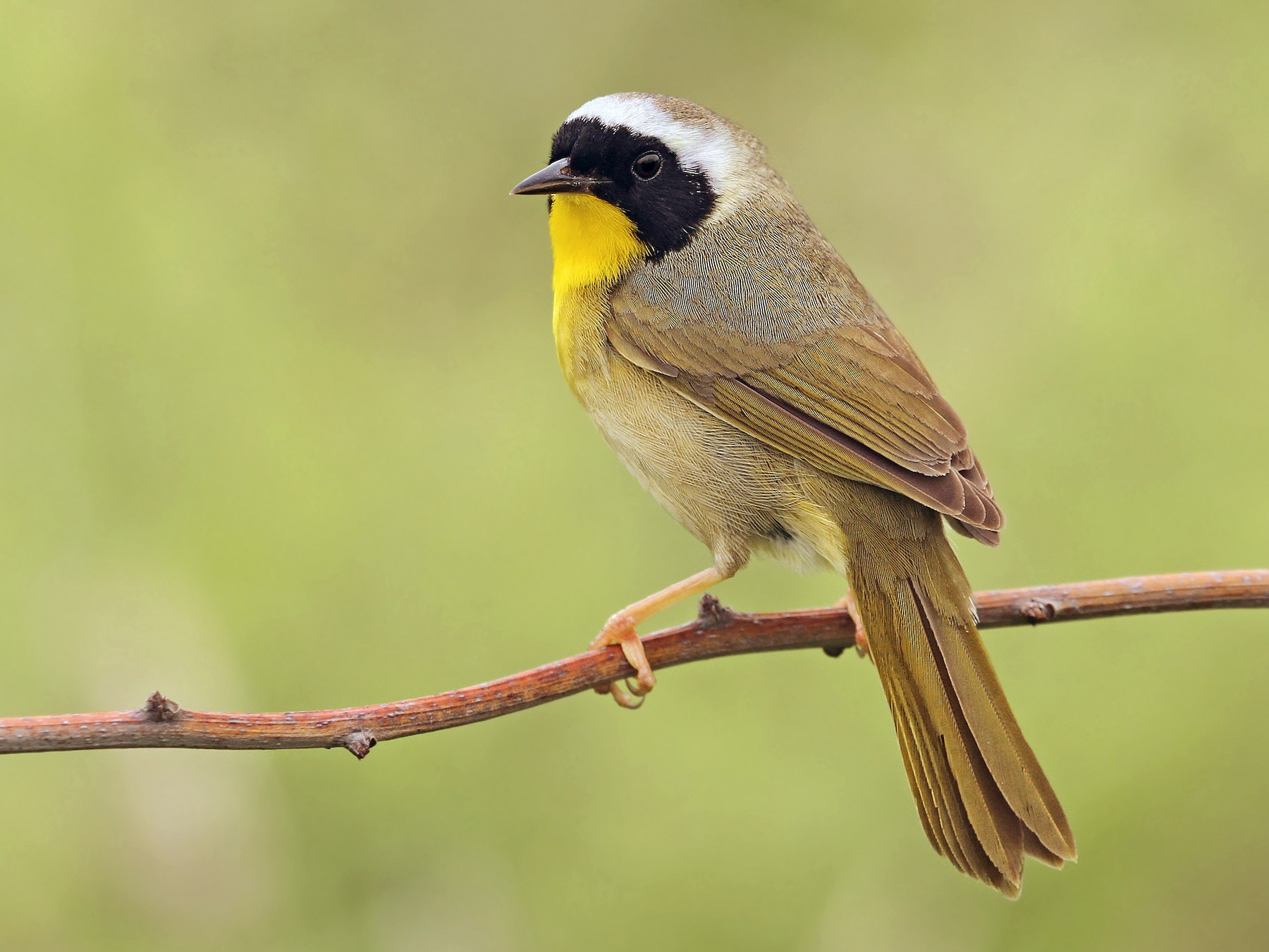 Common Yellowthroat - Ryan Schain