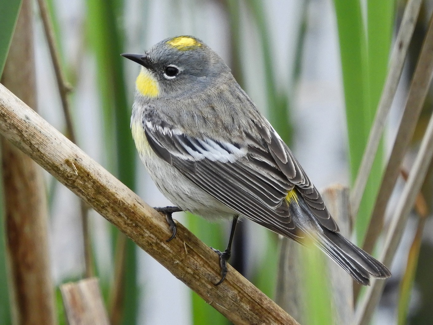 Yellow-rumped Warbler - Georgia Gerrior