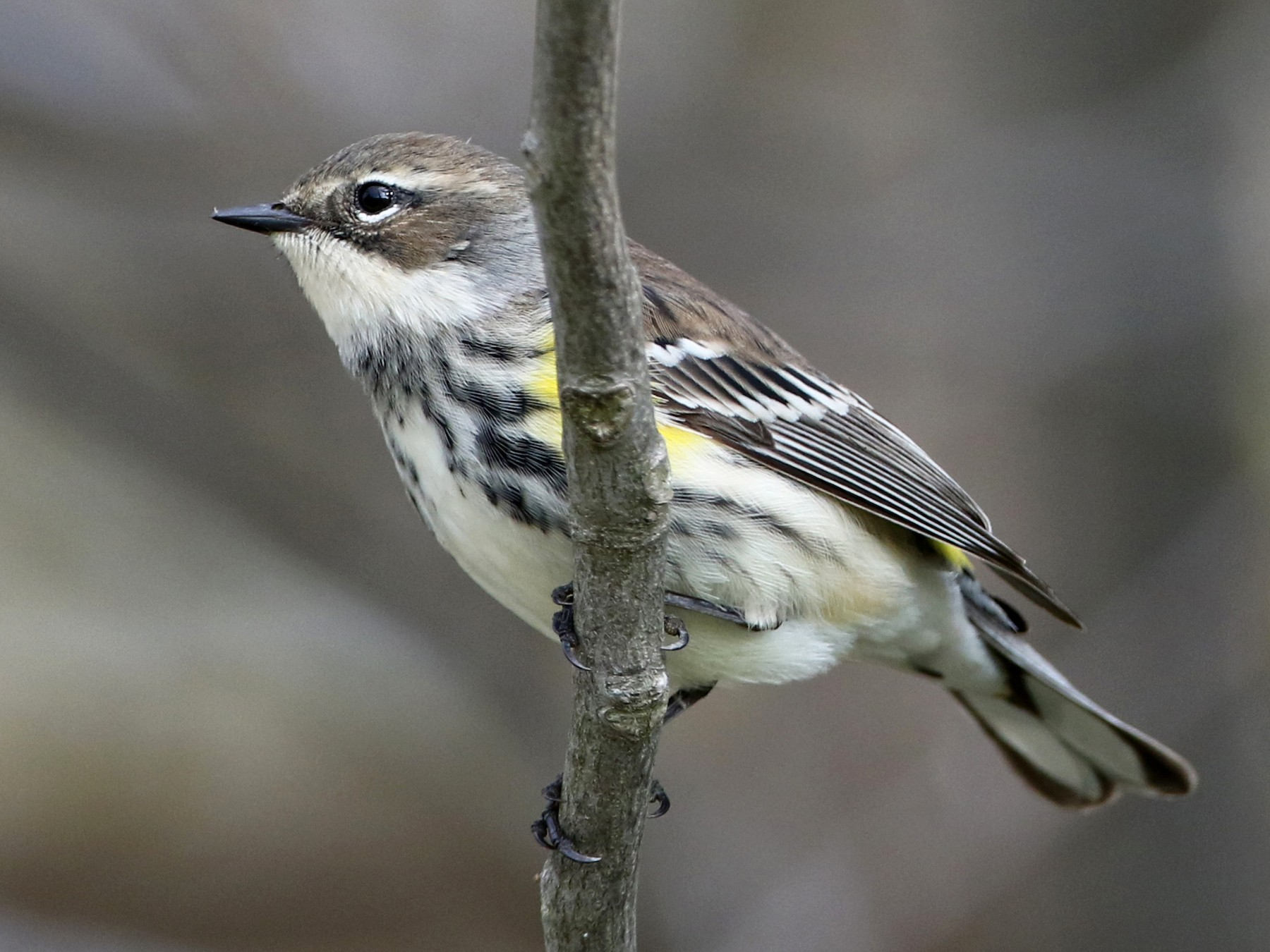 Yellow-rumped Warbler - Jay McGowan