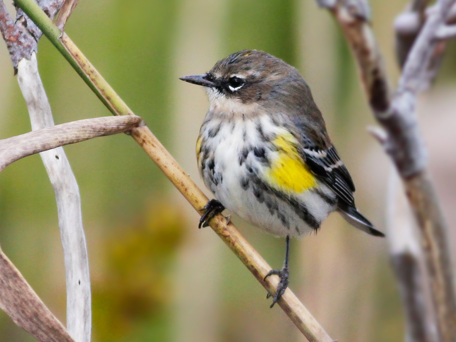 Yellow-rumped Warbler - Davey Walters