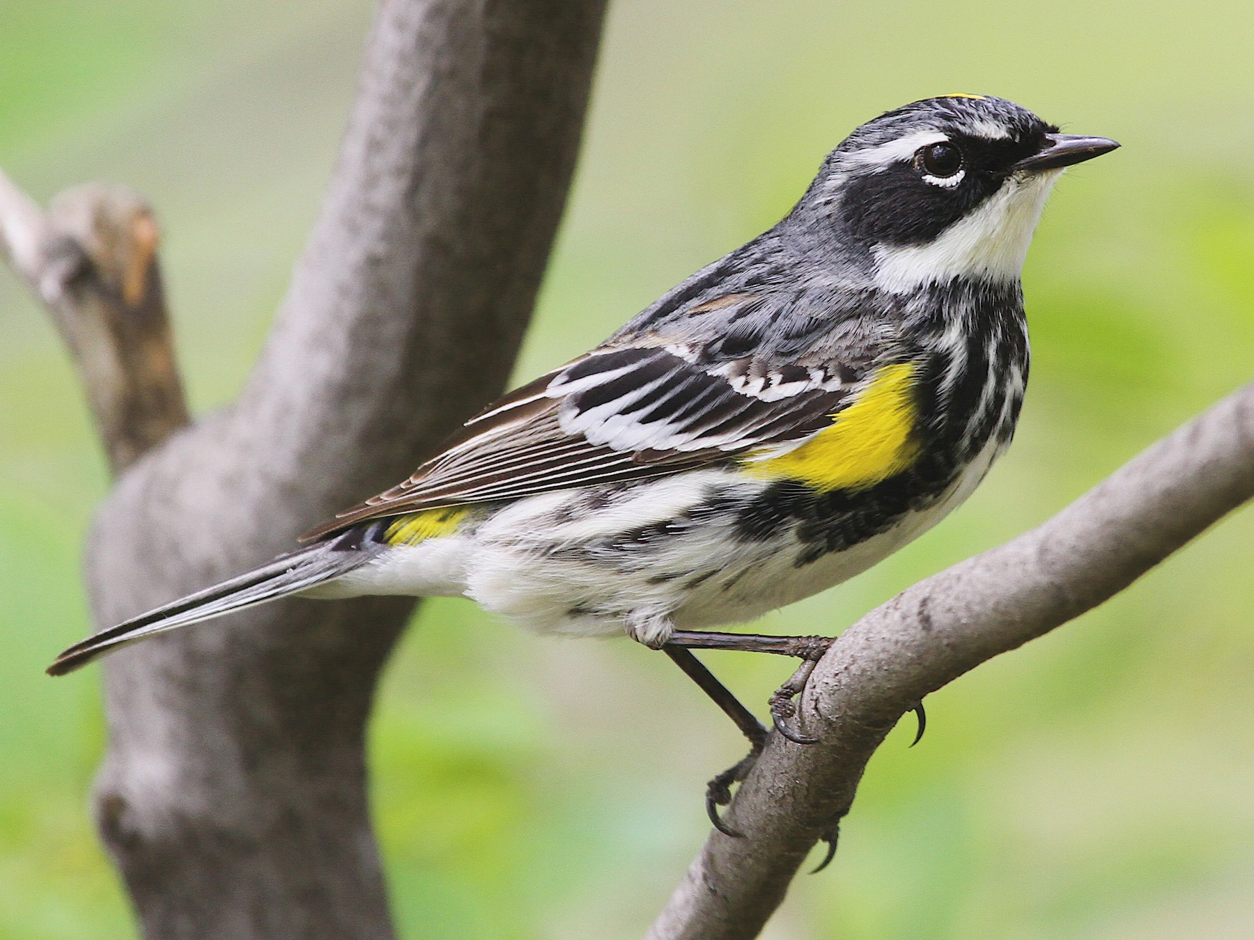 Yellow-rumped Warbler - Ryan Schain