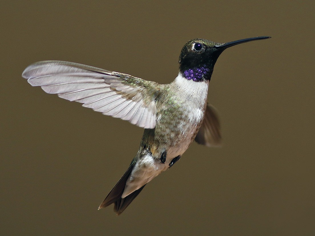 Black-chinned Hummingbird - Bill Maynard