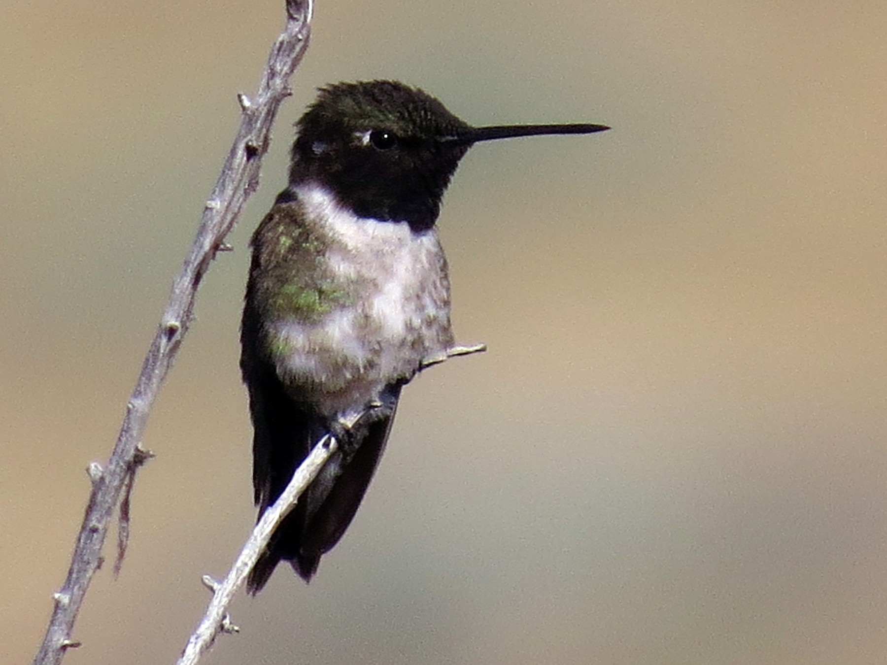 Black-chinned Hummingbird - Ian Hearn