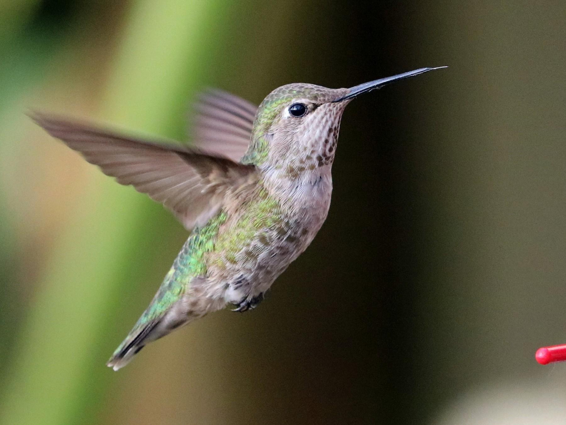 Anna's Hummingbird - Ryan Winkleman