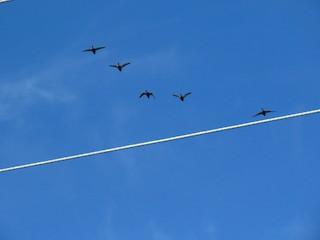 American Black Duck, ML66121361
