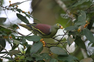 - Thick-billed Green-Pigeon