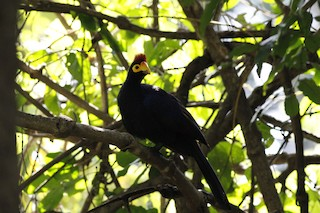 - Ross's Turaco