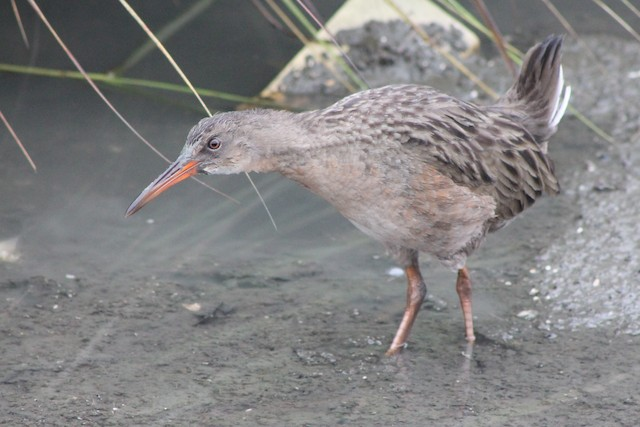 Ridgway's Rail (San Francisco Bay)