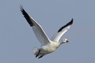 Ross's Goose, ML66207891