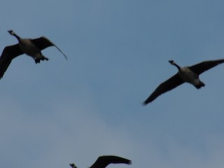 Canada Goose, ML66305711